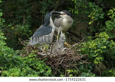 The black-crowned night heron, or black-capped night heron, commonly shortened to just night heron in Eurasia, is a medium-sized heron. #1759222631