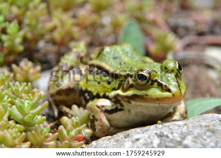 Lake or Pool Frog (Pelophylax lessonae), Marsh frog (Pelophylax ridibundus), edible frog (Pelophylax esculentus) on the edge of the pond. Cute green frog hiding in the greenery. Selective focus #1759245929