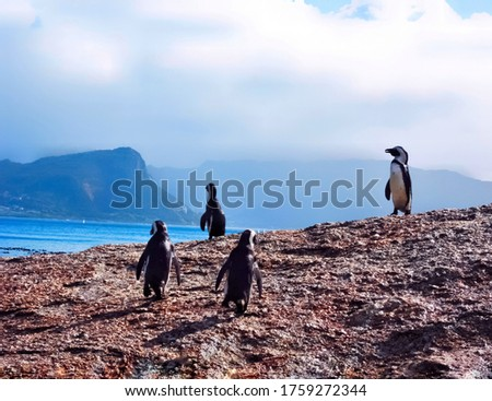 A group of African penguin, jackass penguin, black footed penguin or Spheniscus demersus walking on cliff with Atlantic ocean and high mountains on background at boulder beach, Cape town, South Africa