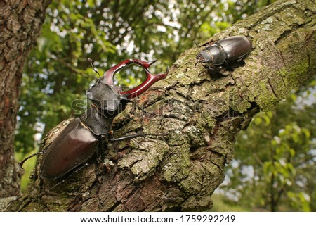 Couple of stag beetles on a close up picture in their natural environment - sitting on a tree. A rare and endangered beetle species with large mandibles, occurring in Europe.