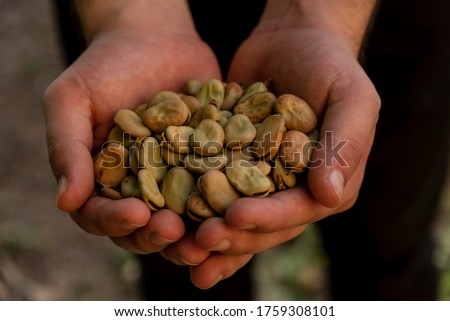 Dried broad beans seeds in young man's hand Royalty-Free Stock Photo #1759308101