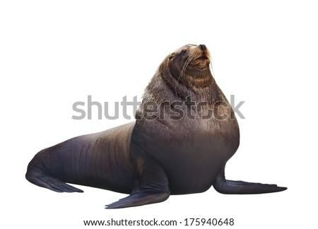 Sea lion on a white background #175940648