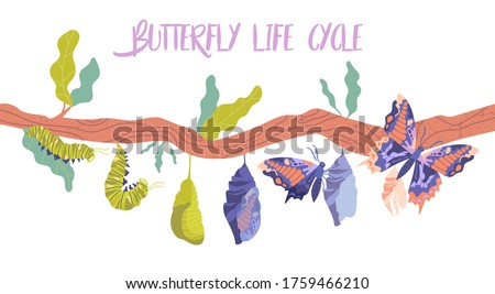 Life cycle and metamorphosis of a butterfly from caterpillar to insect in sequence on a branch, colored vector illustration
