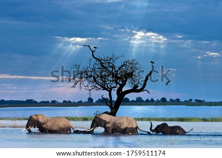A group of African Elephants (Loxodonta africana) crossing the Chobe River in northern Botswana, Africa. Royalty-Free Stock Photo #1759511174