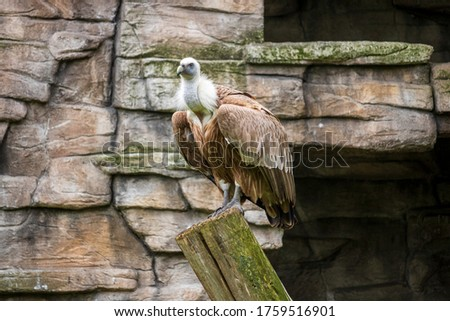 Vulture in the Polish zoo