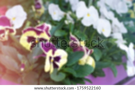 Blurred backdround of Multicolor pansy flowers or pansies as background or pattern. Field of colorful pansies with white yellow violet flowers.