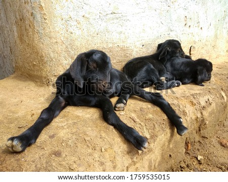 Three little goat children are sitting in different directions of black color #1759535015