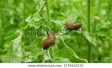 Spanish slug Arion vulgaris snail parasitizes on radish or lettuce cabbage moves garden field, eating ripe plant crops, moving invasive brownish dangerous pest agriculture, farming farm, poison Royalty-Free Stock Photo #1759632125