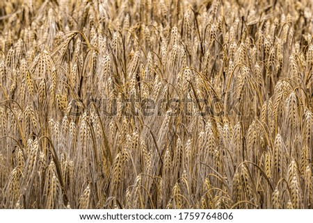Rural scenery. Background of ripening ears of wheat field and sunlight. Crops field. Selective focus. Field landscape. #1759764806