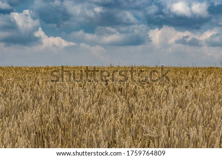 Rural scenery. Background of ripening ears of wheat field and sunlight. Crops field. Selective focus. Field landscape. #1759764809