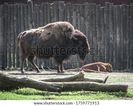 Bison near the large fence of the reserve. Wild animal is a symbol of strength and stability in the wild. Stock photo background #1759771913