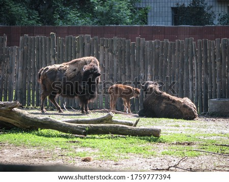 Bison near the large fence of the reserve. Wild animal is a symbol of strength and stability in the wild. Stock photo background #1759777394
