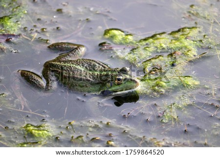 Frog sits in water on a pond covered with mud. Summer wildlife #1759864520