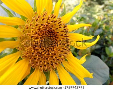 Closeup of sunflower in the garden #1759942793