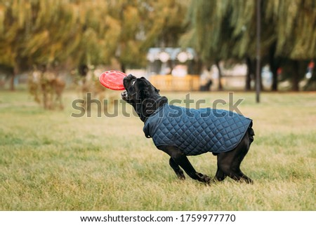 Active Black Cane Corso Dog Play Running With Plate Toy Outdoor In Park. Dog Wears In Warm Clothes. Big Dog Breeds #1759977770