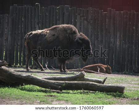 Bison near the large fence of the reserve. Wild animal is a symbol of strength and stability in the wild. Stock photo background #1760060597