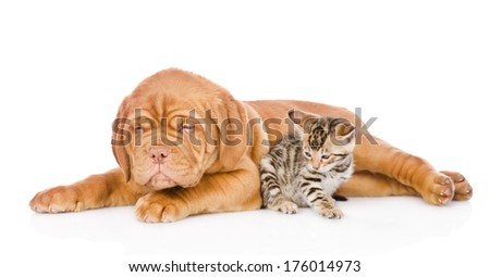 Bordeaux puppy dog and bengal kitten together. isolated on white background #176014973