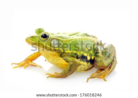 Frog isolated on a white background, and close-up pictures  #176018246