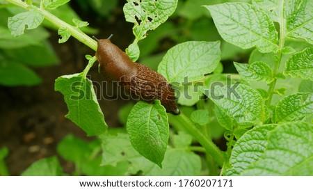 Spanish slug pest Arion vulgaris snail parasitizes on potato leaves Solanum tuberosum potatoes leaf vegetables cabbage lettuce moving garden, eating ripe plant crops. Invasive slug native Spain land Royalty-Free Stock Photo #1760207171