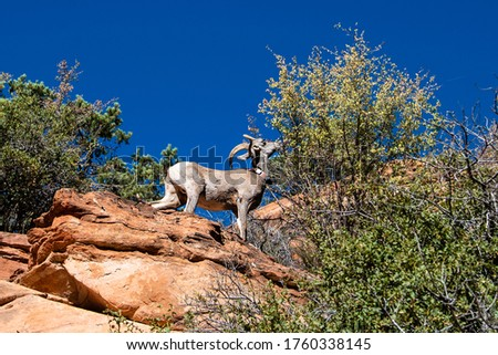 Bighorn Sheep eating leaves at cliffside along the Zion-Mount Carmel Highway. Zion National Park, Utah, USA #1760338145