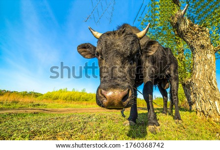 Cow portrait on cow farm. Cow nose #1760368742