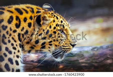 Leopard portrait in nature. Leopard profile