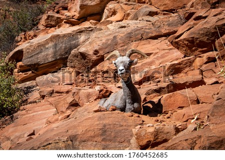 Bighorn Sheep liess at cliff along the Zion-Mount Carmel Highway. Zion National Park, Utah, USA #1760452685
