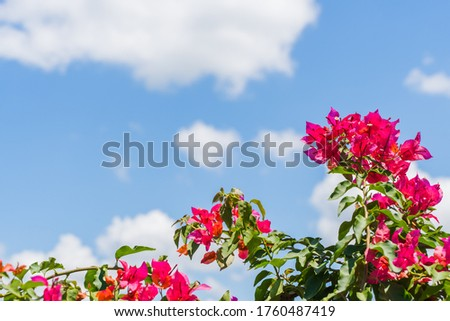 Bougainvillea spectabilis on bright summer day with clear blue sky on background. Summer background with blooming flowers and copy space. Plant species name - Delonix regia (Hook.) Raf. Stock photo.