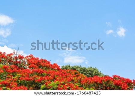 Delonix regia tree crown on bright summer day with clear blue sky on background  and copy space. Summer background with blooming tree. Plant species name - Delonix regia (Hook.) Raf. Stock photo.
