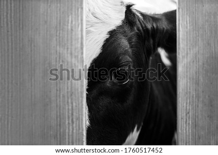 Cow in the slaughterhouse, look from behind the fence #1760517452
