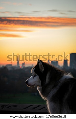 A beautiful husky dog pictured in front of  the London skyline during a colourful sunrise
