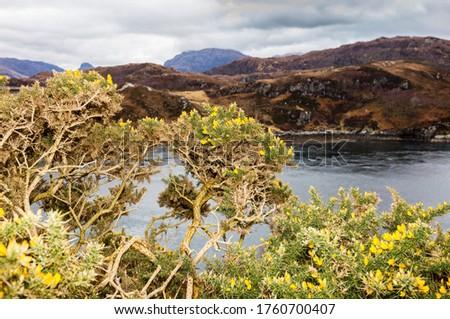 Highlands, Scotland. Flowering Ulex europaeus (common names: gorse, common gorse, furze, whin. Family: Fabaceae) near Kylesku.  #1760700407