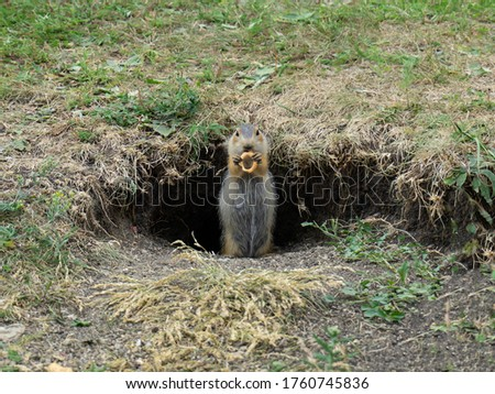 Gopher eats a bagel. Funny gopher stands near the hole and eats. The gopher holds in its paws food.