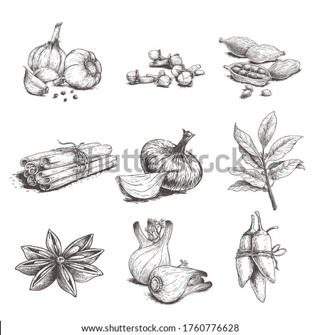 Spices, herbs and condiments set. Garlic, cloves, coriander, cinnamom sticks, onon, bay leaves, fennel, star anise and chilli peper.  Sketch hand drawn style. Vector illustrations. #1760776628