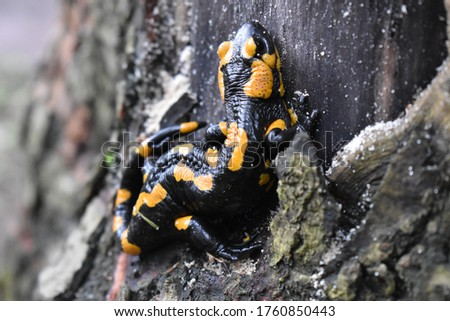 closeup of  fire salamander in the forest