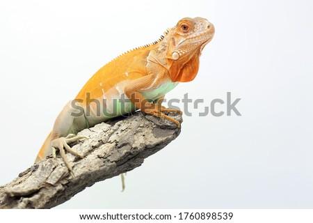 A red iguana (Iguana iguana) is sunbathing on weathered wood. Royalty-Free Stock Photo #1760898539