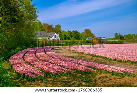 Pink tulip flowers farm field landscape. Tulip flowers farm scene. Pink tulips flowers in tulip farm #1760986385