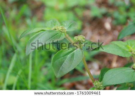 Medicinal Plant: Euphorbia hirta (Patikan kebo, asthma-plant) with natural background #1761009461