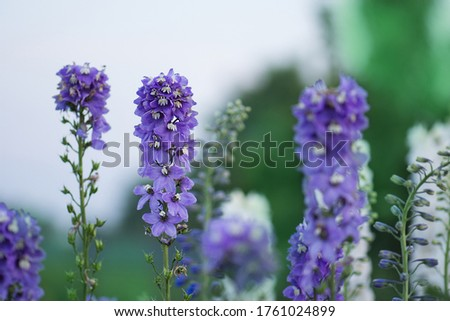 Delphinium flower blooming. Beautiful larkspur blooms. Candle Larkspur plant with flowers on blurred background #1761024899