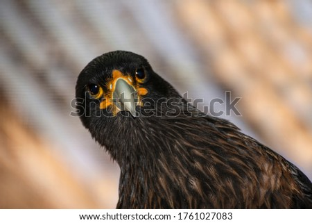 A brown bird of the family of Phalcoboenus, inhabitant in south America. A close up pics against a light colored background.