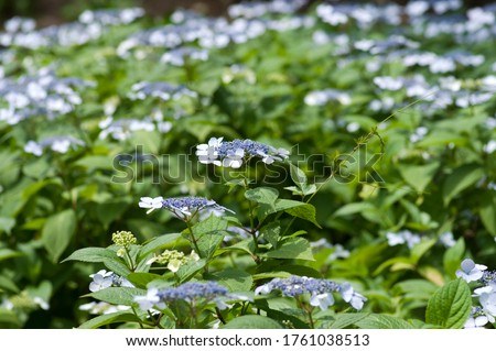 The name of these flowers is H. m. f. normalis. Scientific name is Hydrangea macrophylla. #1761038513