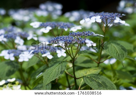 The name of these flowers is H. m. f. normalis. Scientific name is Hydrangea macrophylla. #1761038516
