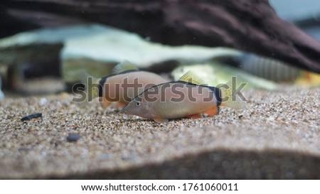 Yasuhikotakia Morleti. Skunk loach. Skunk botia.  #1761060011