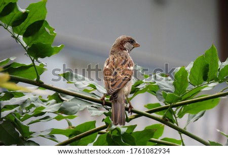 Sparrow on a branch,Great Details of the Sparrow Bird.