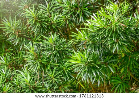 Yew branches with fresh green leaves. Taxus baccata close up. Green branches of yew tree, Taxus baccata, English yew, European yew. #1761121313