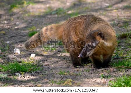 South American Coati, or Ring-tailed Coati (Nasua nasua) on ground
