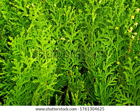 Cypress cedar thuja arborvitae conifer tree branch. Thuja occidentalis evergreen conifer bush (tree) in cypress family. Macro cypress shrub & cones. Conifer thuja flower of cypress green background #1761304625