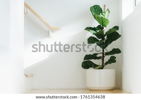 Fiddle leaf fig, Ficus lyrata, plant in circle white pot and place at the Corner of stair or ladder for decorate home or room. And there is sunlight coming from the right hand window. #1761354638