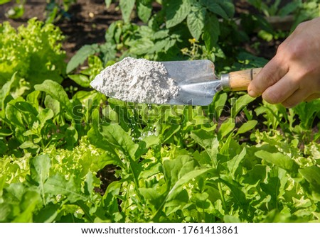 Gardener sprinkle Diatomaceous earth( Kieselgur) powder for non-toxic organic insect repellent on salad in vegetable garden, dehydrating insects. #1761413861