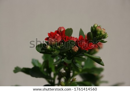 a picture of a red awesome flower poinsettia